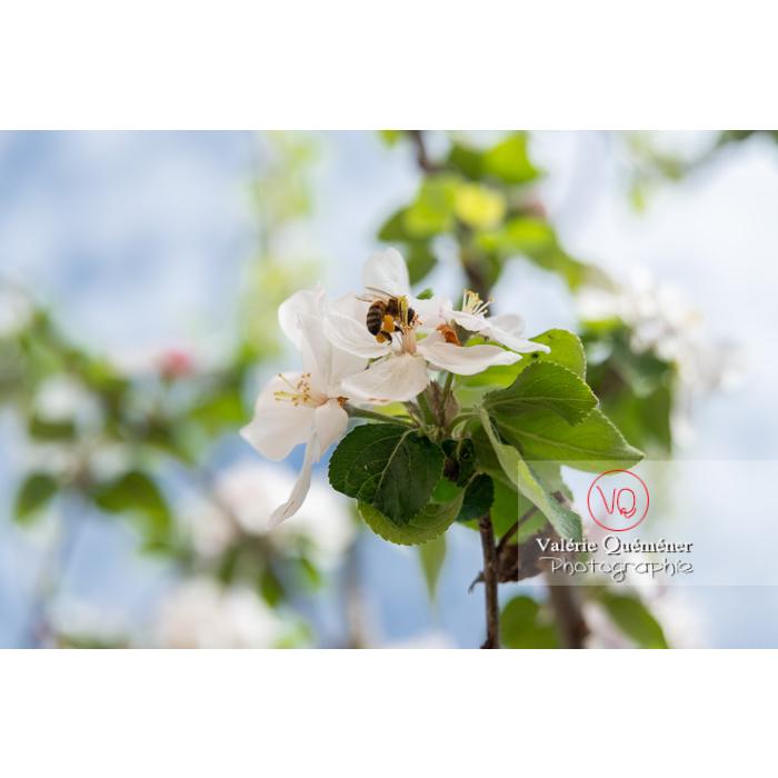 Abeille sur une fleur de jeune pommier (malus sp) - Réf : VQF&J-10267 (Q3)