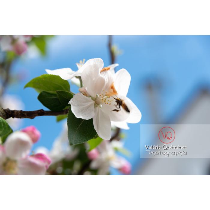 Abeille sur une fleur de jeune pommier (malus sp) - Réf : VQF&J-10270
