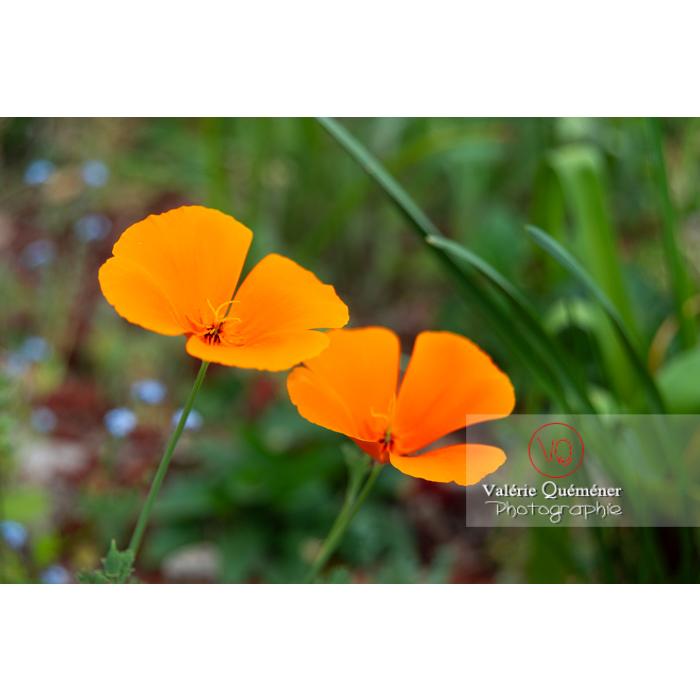Fleurs oranges de pavot de Californie (eschscholzia californica) - Réf : VQF&J-10273 (Q3)