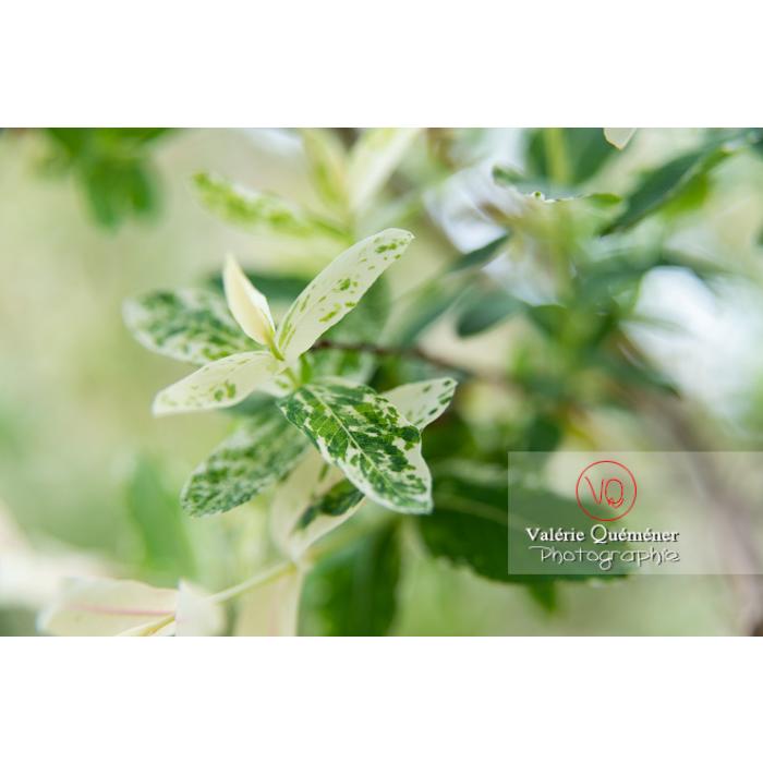 Feuillage de saule maculé ou saule crevette au printemps (salix integra) - Réf : VQF&J-10275 (Q3)
