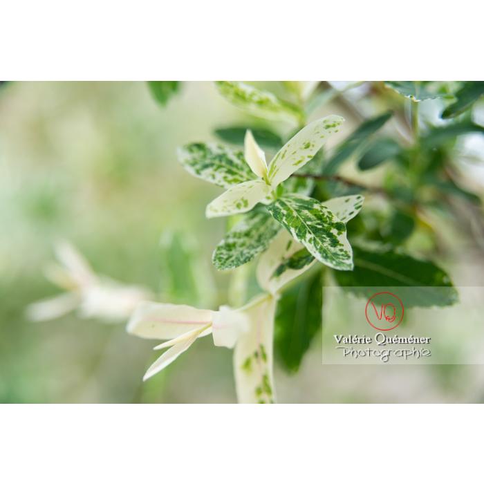 Feuillage de saule maculé ou saule crevette au printemps (salix integra) - Réf : VQF&J-10276 (Q3)