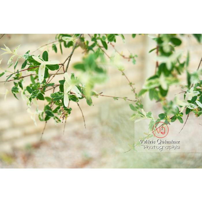 Feuillage de saule maculé ou saule crevette au printemps (salix integra) - Réf : VQF&J-10279 (Q3)