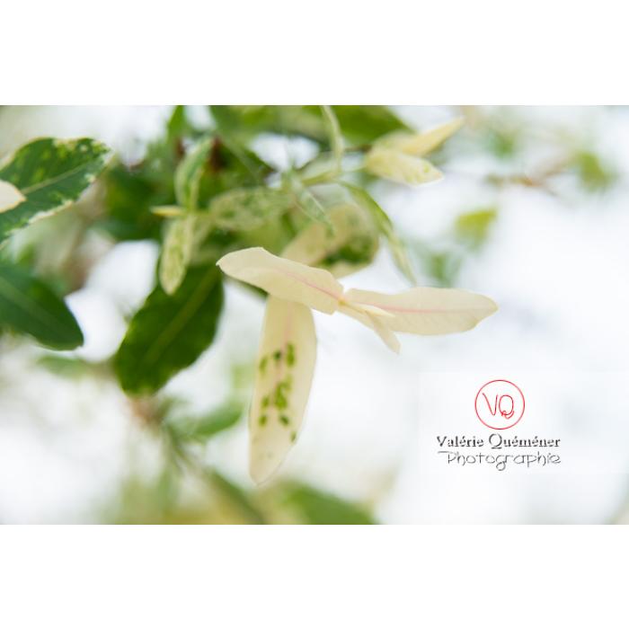 Feuillage de saule maculé ou saule crevette au printemps (salix integra) - Réf : VQF&J-10280 (Q3)
