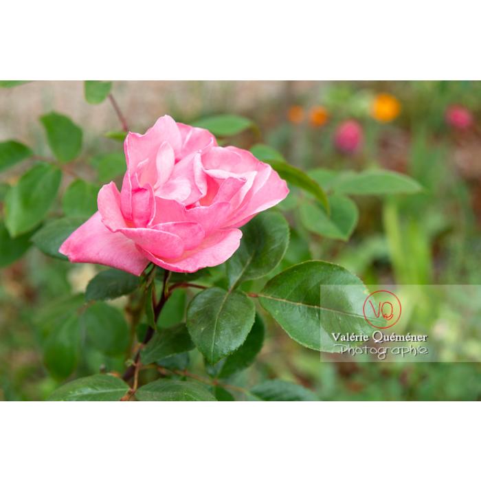 Grosse fleur rose de rosier (rosa sp) - Réf : VQF&J-10282 (Q3)