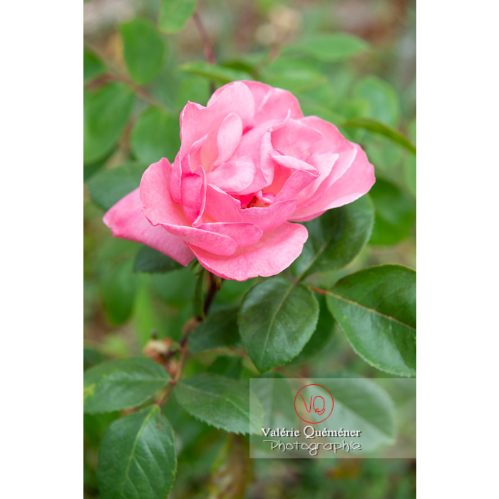 Grosse fleur rose de rosier (rosa sp) - Réf : VQF&J-10283 (Q3)