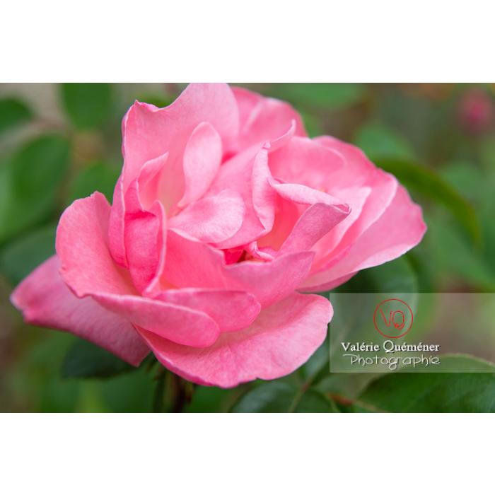 Grosse fleur rose de rosier (rosa sp) - Réf : VQF&J-10284 (Q3)