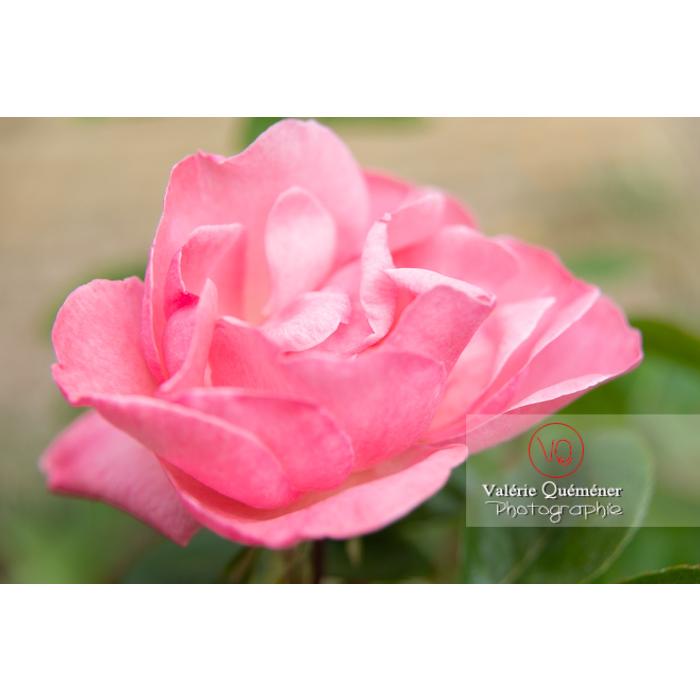 Grosse fleur rose de rosier (rosa sp) - Réf : VQF&J-10286 (Q3)