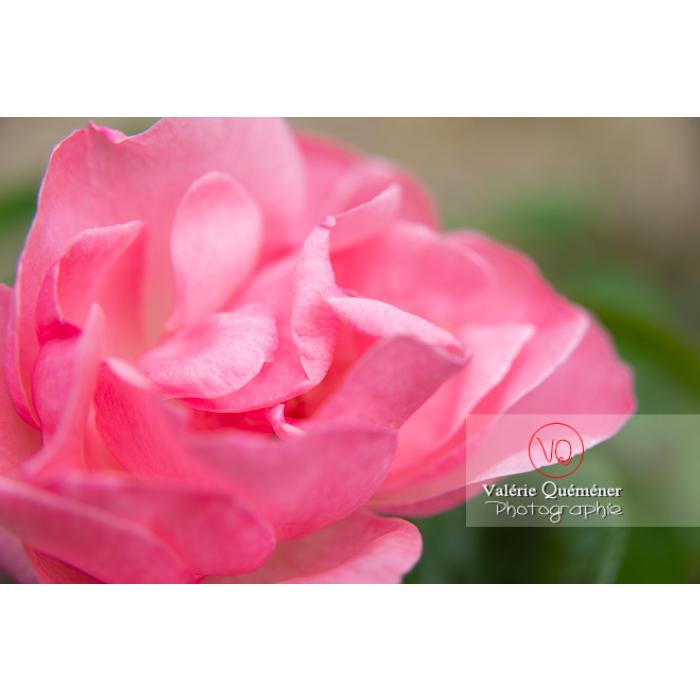 Gros plan de grosse fleur rose de rosier (rosa sp) - Réf : VQF&J-10287 (Q3)