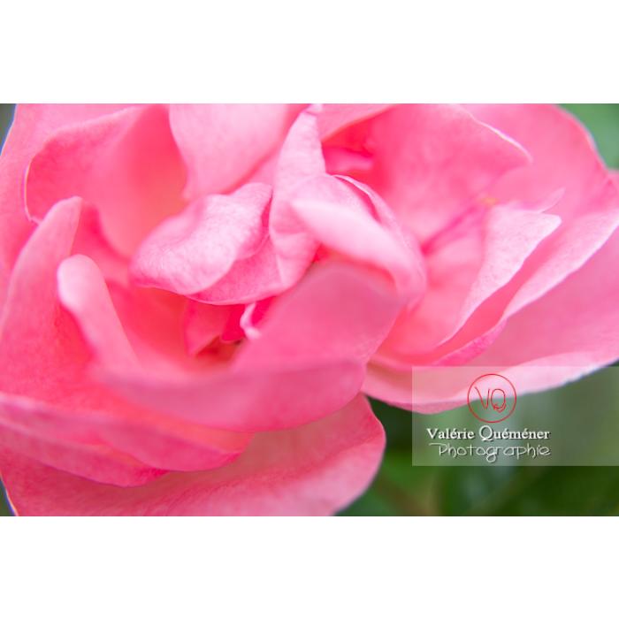 Gros plan de grosse fleur rose de rosier (rosa sp) - Réf : VQF&J-10288 (Q3)