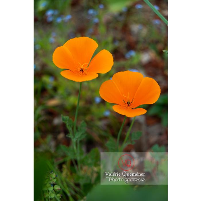 Fleurs oranges de pavot de Californie (eschscholzia californica) - Réf : VQF&J-10289 (Q3)