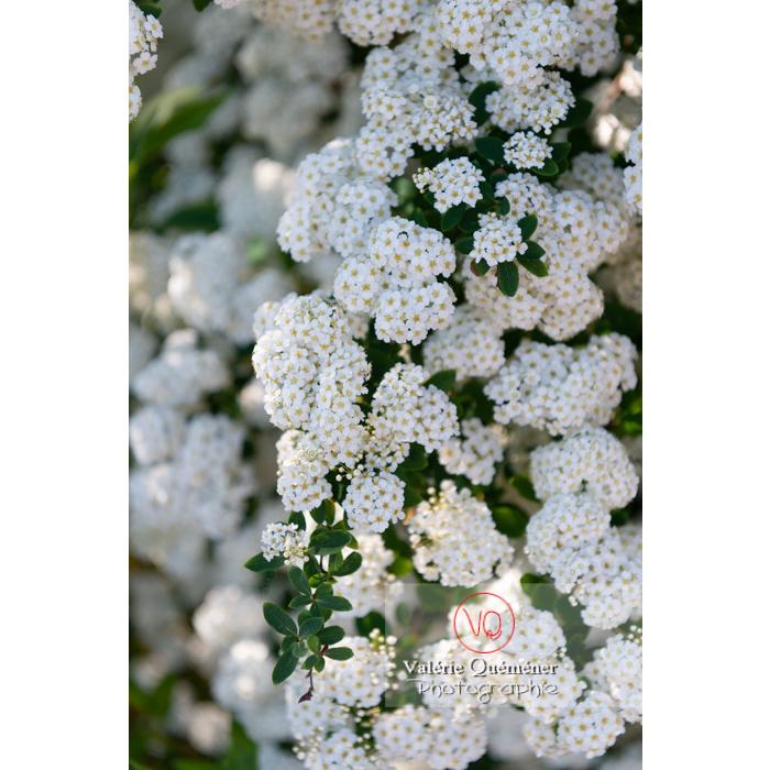 Spirée de Van Houtte en fleur (spiraea vanhouttei) - Réf : VQF&J-10301 (Q3)