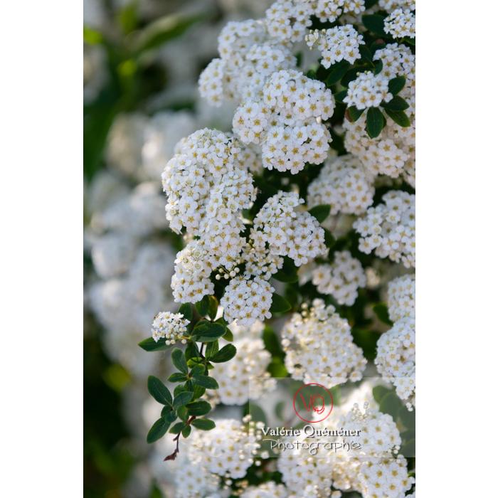 Spirée de Van Houtte en fleur (spiraea vanhouttei) - Réf : VQF&J-10302 (Q3)