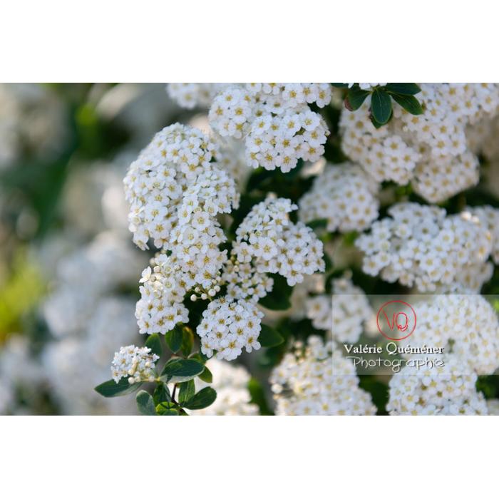 Spirée de Van Houtte en fleur (spiraea vanhouttei) - Réf : VQF&J-10303 (Q3)