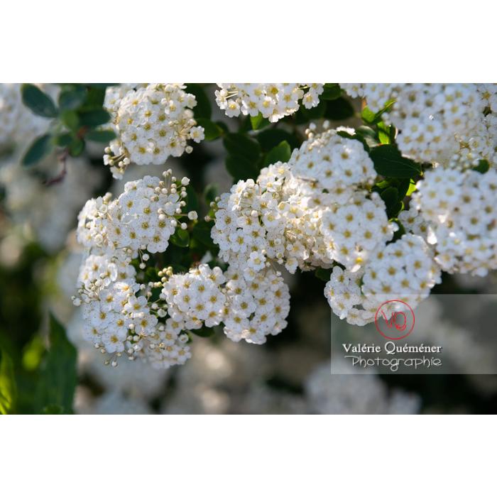 Spirée de Van Houtte en fleur (spiraea vanhouttei) - Réf : VQF&J-10306 (Q3)