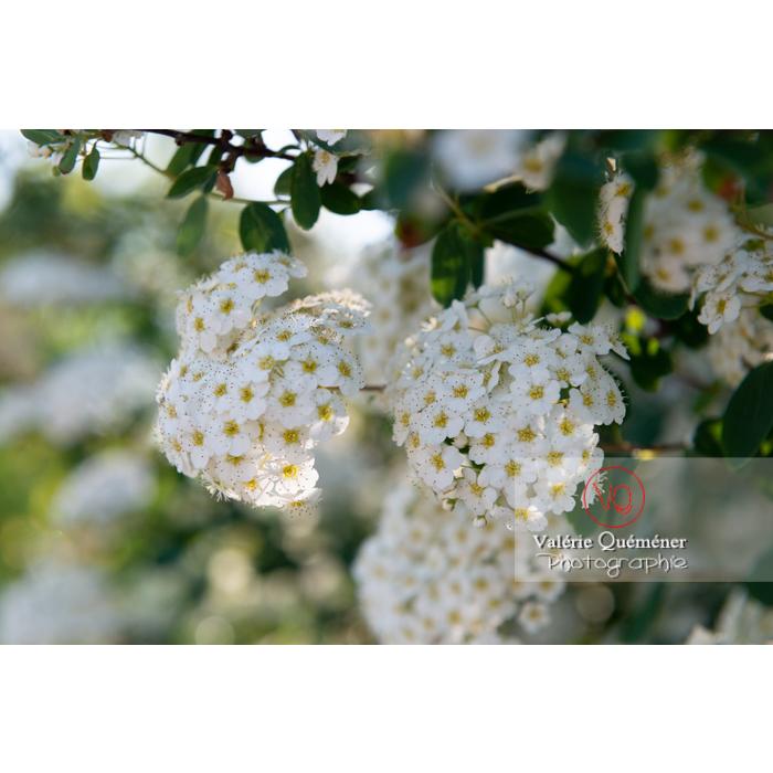 Spirée de Van Houtte en fleur (spiraea vanhouttei) - Réf : VQF&J-10308 (Q3)