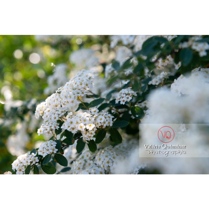 Spirée de Van Houtte en fleur (spiraea vanhouttei) - Réf : VQF&J-10312 (Q3)
