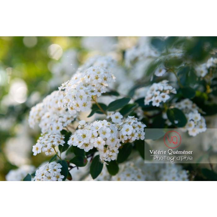 Spirée de Van Houtte en fleur (spiraea vanhouttei) - Réf : VQF&J-10313 (Q3)