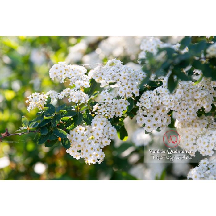 Spirée de Van Houtte en fleur (spiraea vanhouttei) - Réf : VQF&J-10317 (Q3)