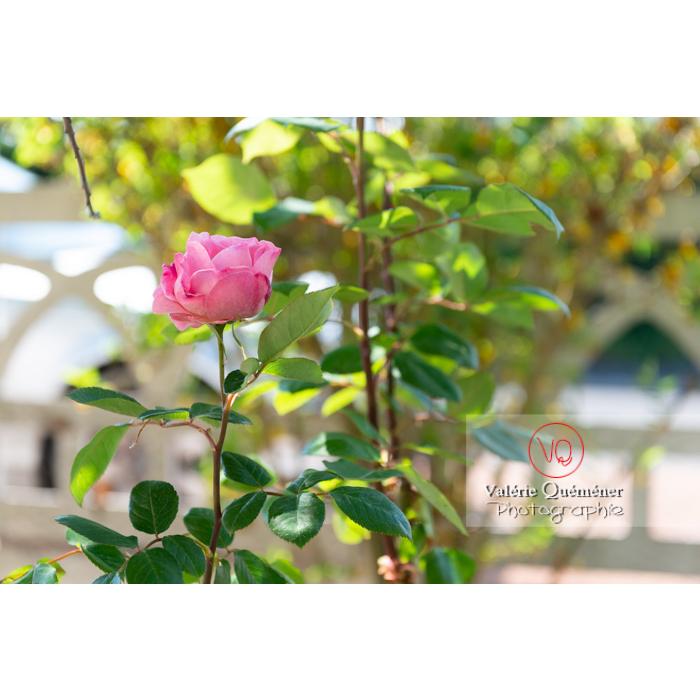 Fleur rose de rosier (rosa sp) - Réf : VQF&J-10319 (Q3)