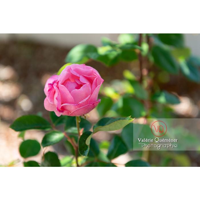 Fleur rose de rosier (rosa sp) - Réf : VQF&J-10320 (Q3)