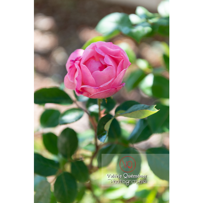Fleur rose de rosier (rosa sp) - Réf : VQF&J-10322 (Q3)