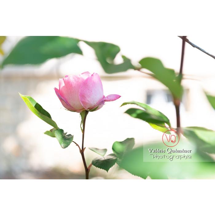 Fleur rose de rosier (rosa sp) - Réf : VQF&J-10323 (Q3)