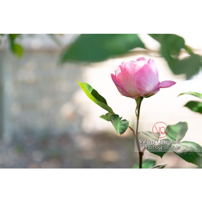 Bouton de fleur rose de rosier (rosa sp) - Réf : VQF&J-10325 (Q3)