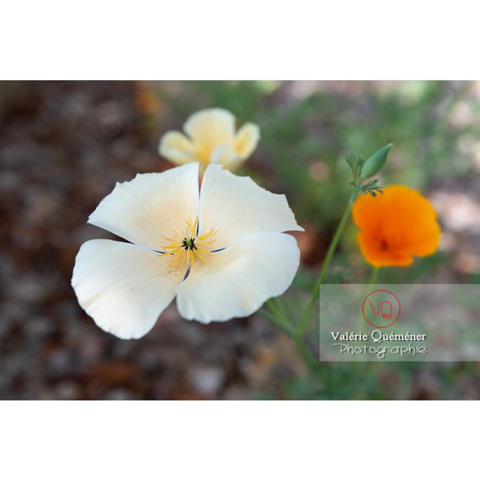 Fleur blanche de pavot de Californie (eschscholzia californica alba) - Réf : VQF&J-10328 (Q3)