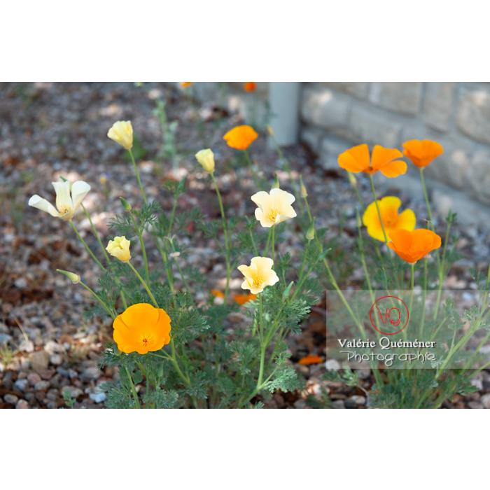 Fleurs des trois couleurs de pavot de Californie (eschscholzia californica) - Réf : VQF&J-10345 (Q3)