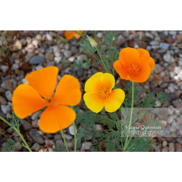 Fleurs oranges et fleur jaune de pavot de Californie (eschscholzia californica) - Réf : VQF&J-10348 (Q3)