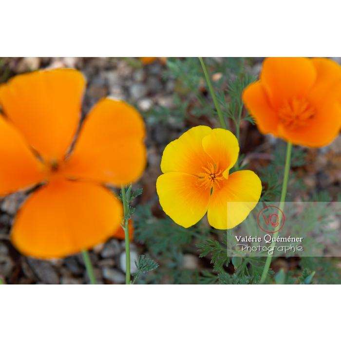 Fleurs oranges et fleur jaune de pavot de Californie (eschscholzia californica) - Réf : VQF&J-10349 (Q3)