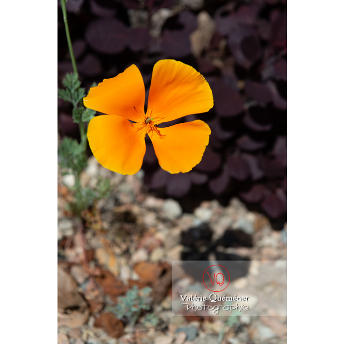 Fleur orange de pavot de Californie (eschscholzia californica) - Réf : VQF&J-10351 (Q3)