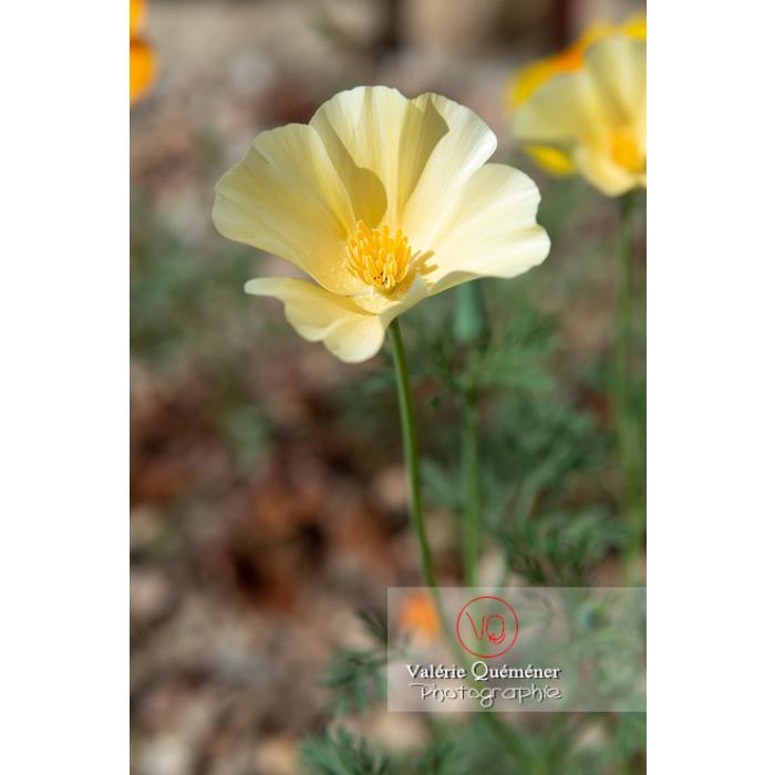 Fleur blanche de pavot de Californie (eschscholzia californica alba) - Réf : VQF&J-10354 (Q3)