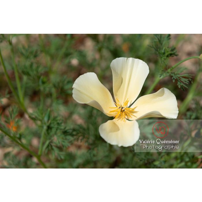 Fleur blanche de pavot de Californie (eschscholzia californica alba) - Réf : VQF&J-10356 (Q3)