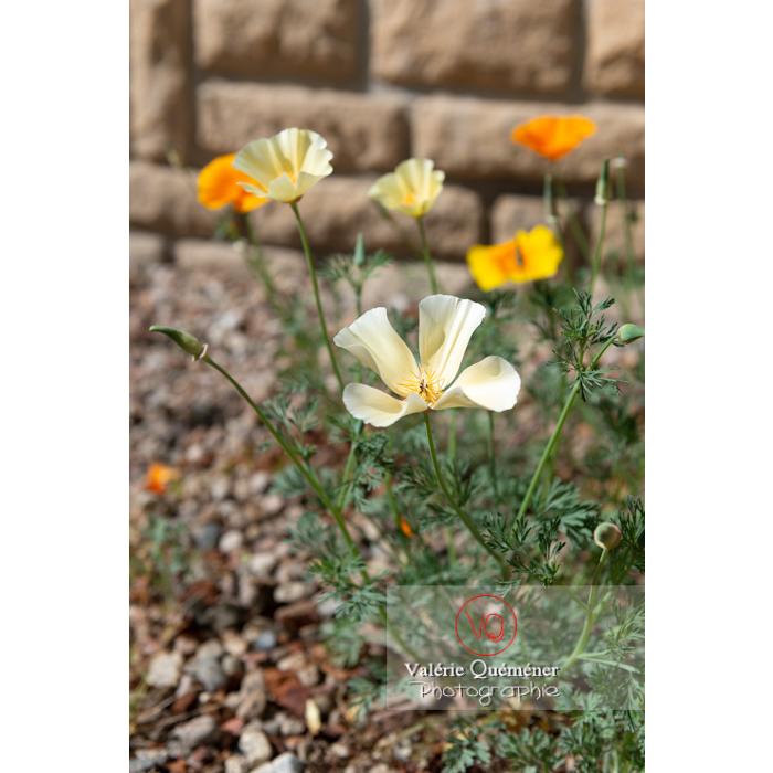 Fleurs des trois couleurs de pavot de Californie (eschscholzia californica) - Réf : VQF&J-10357 (Q3)