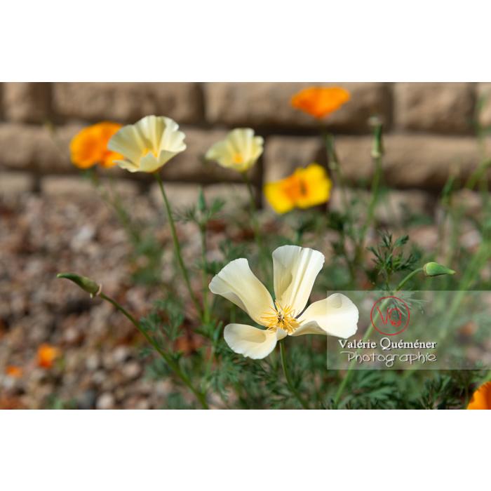 Fleurs des trois couleurs de pavot de Californie (eschscholzia californica) - Réf : VQF&J-10359 (Q3)