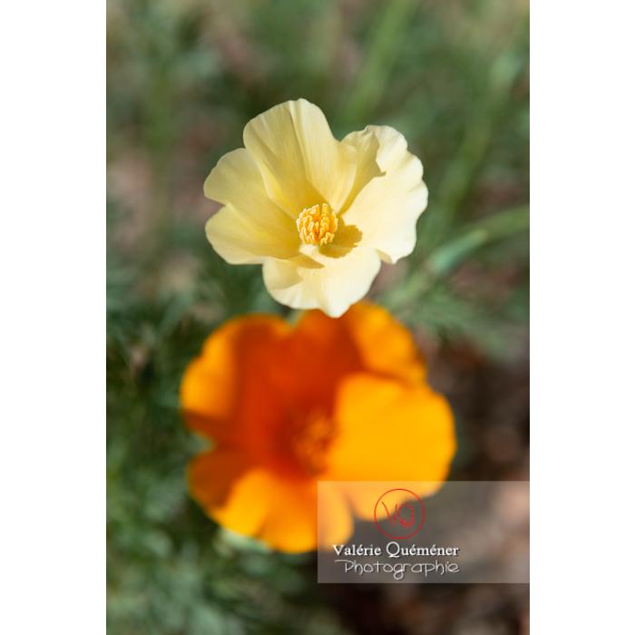 Fleur blanche de pavot de Californie (eschscholzia californica alba) - Réf : VQF&J-10360 (Q3)