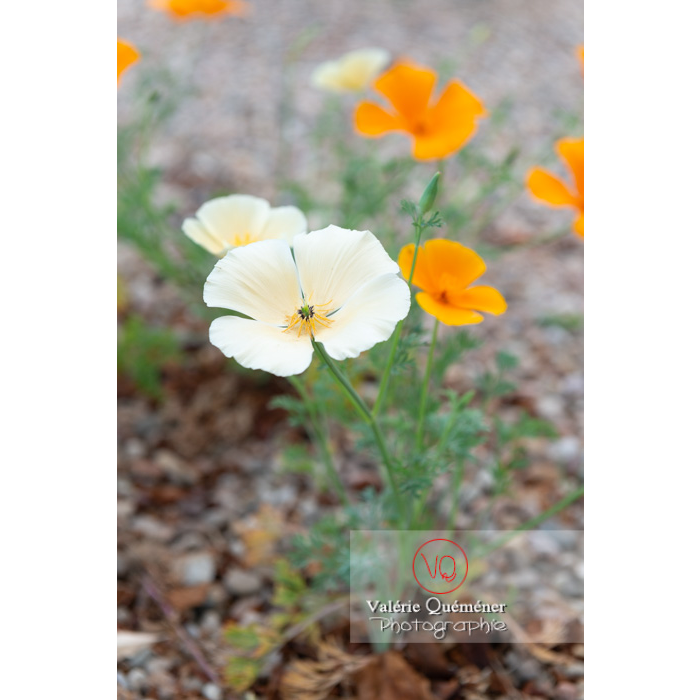 Fleurs blanche et orange de pavot de Californie (eschscholzia californica) - Réf : VQF&J-10363 (Q3)