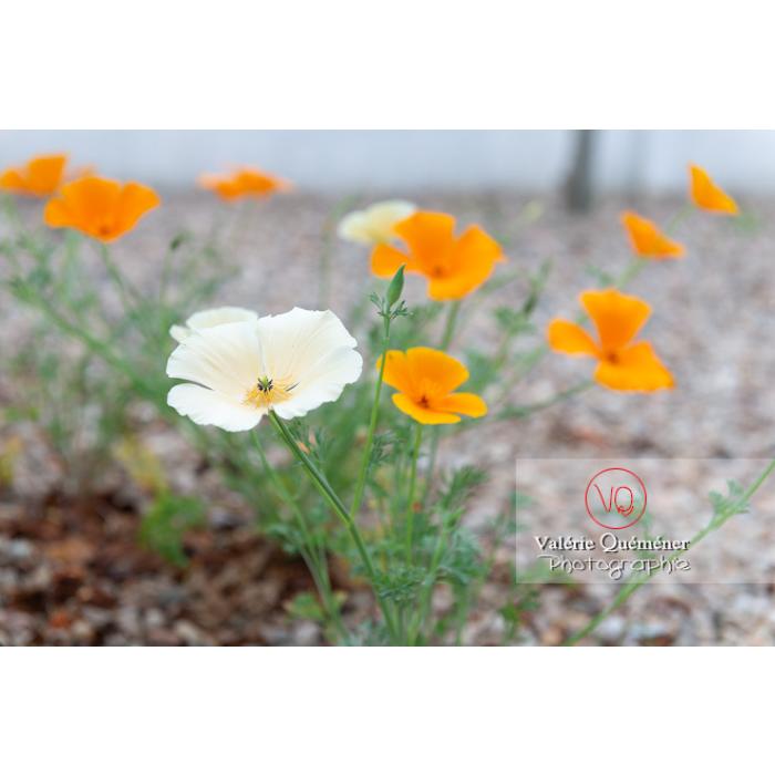 Fleurs blanche et orange de pavot de Californie (eschscholzia californica) - Réf : VQF&J-10364 (Q3)