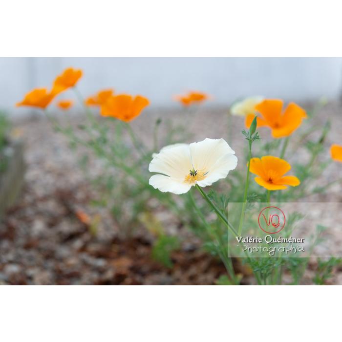Fleurs blanche et orange de pavot de Californie (eschscholzia californica) - Réf : VQF&J-10365 (Q3)