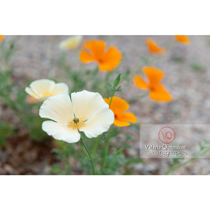 Fleurs blanche et orange de pavot de Californie (eschscholzia californica) - Réf : VQF&J-10367 (Q3)