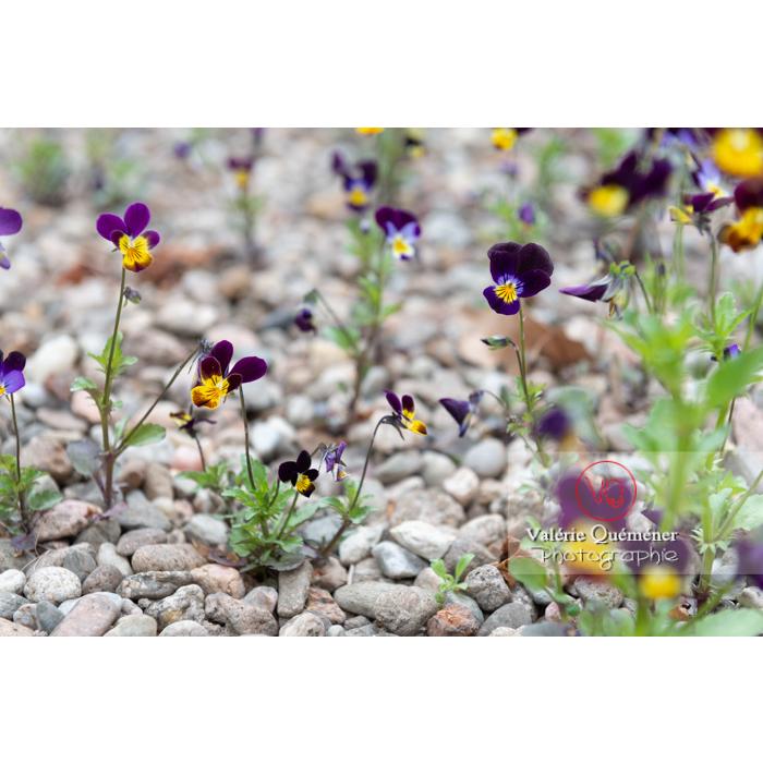 Pensées sauvages (viola tricolor) - Réf : VQF&J-10376 (Q3)