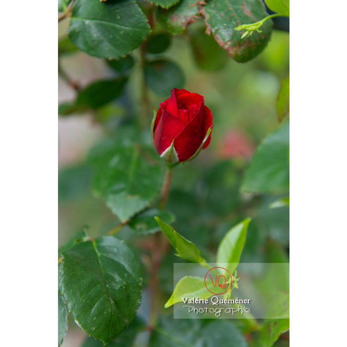 Bouton de fleur rouge de rosier (rosa sp) - Réf : VQF&J-10379 (Q3)
