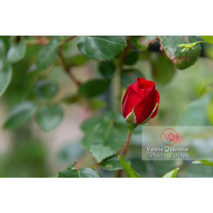 Bouton de fleur rouge de rosier (rosa sp) - Réf : VQF&J-10380 (Q3)