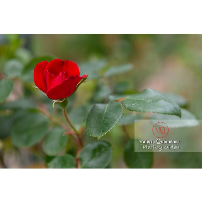 Petite fleur rouge de rosier (rosa sp) - Réf : VQF&J-10381 (Q3)