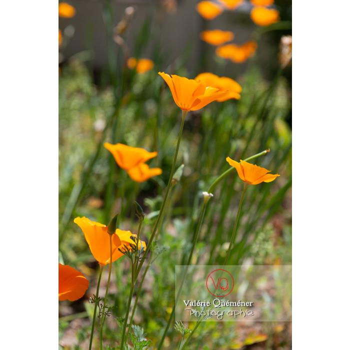 Fleurs oranges de pavot de Californie (eschscholzia californica) - Réf : VQF&J-10418 (Q3)