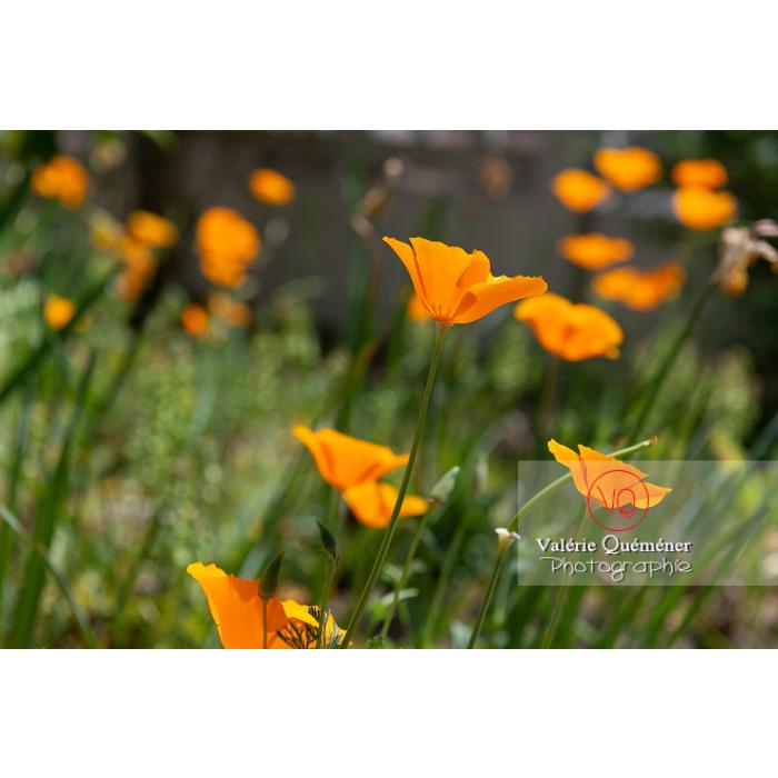 Fleurs oranges de pavot de Californie (eschscholzia californica) - Réf : VQF&J-10419 (Q3)