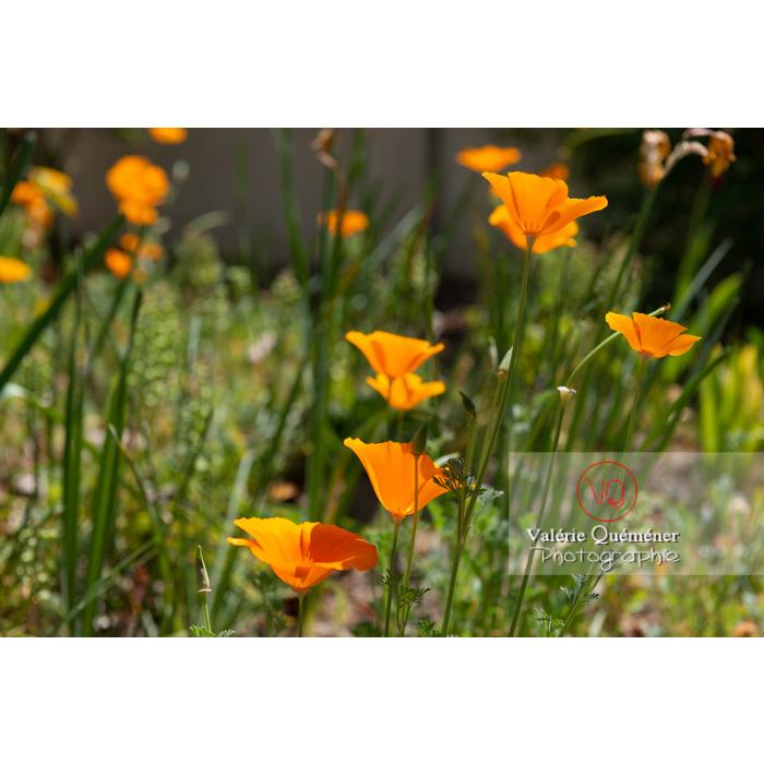 Fleurs oranges de pavot de Californie (eschscholzia californica) - Réf : VQF&J-10421 (Q3)