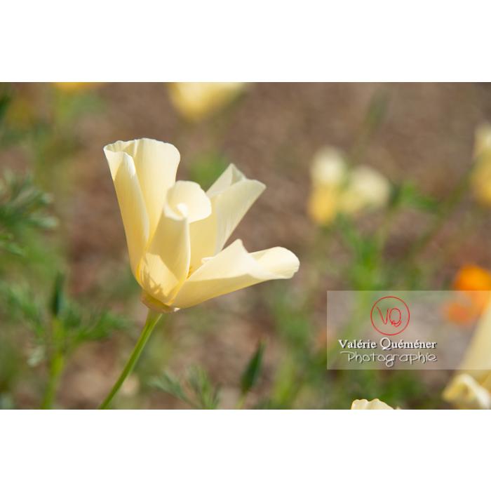 Fleur blanche de pavot de Californie (eschscholzia californica alba) - Réf : VQF&J-10429 (Q3)