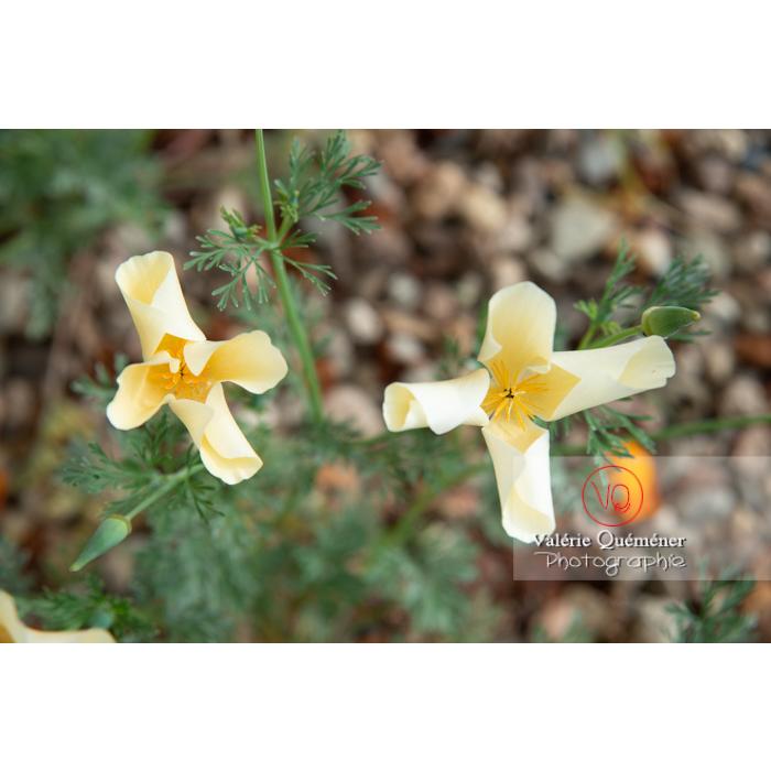 Fleurs blanches de pavot de Californie (eschscholzia californica alba) - Réf : VQF&J-10432 (Q3)